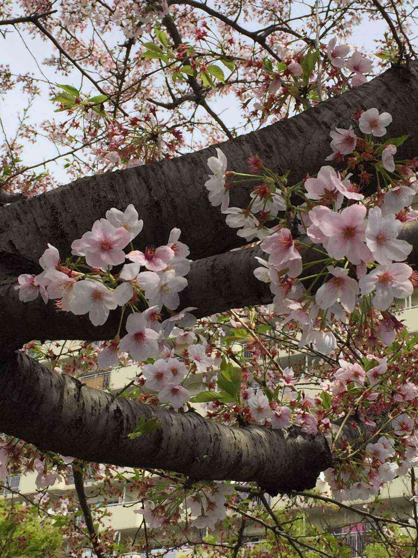 桜はまだ咲いています