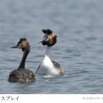 42-49-中島喜久夫-カンムリカイツブリ
