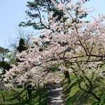 富津公園・桜-1