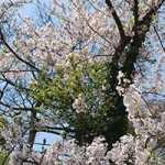 富津公園・桜-2