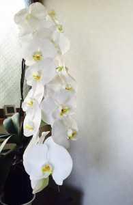 花びらが16枚もついてMさんが丹精込めて育てられた蘭の花