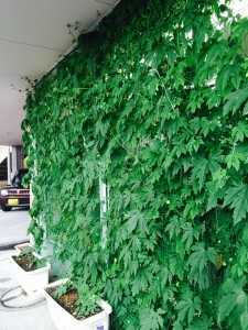 市内の整体院さんのグリーンカーテン