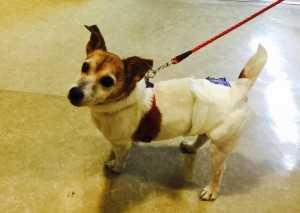 老健施設のアニマルセラピー犬です