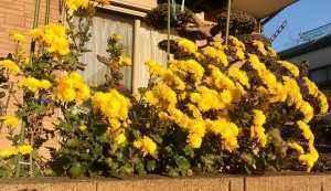 M邸のお庭に見事に咲き誇り