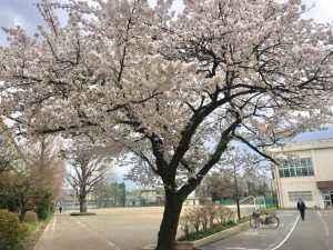 見事に満開の一中の桜