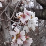 20161126寒桜