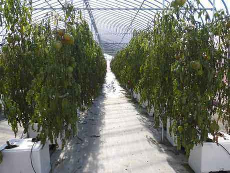 トマトの収穫が終えたビニールハウス内部