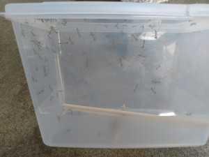 カマキリの幼虫 (1)
