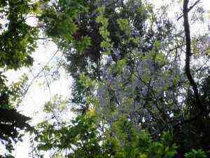 木々の頂上に藤の花