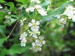 バラ科の白い花