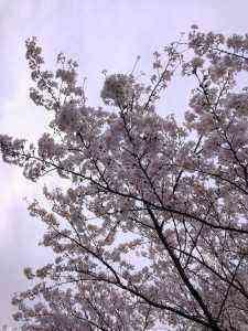 桜の咲いた様子