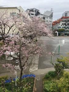 校庭の桜がきれいです。