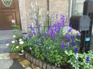 タネが落ちて自然に広がるというM邸のデルフィーニョのお花がお見事!。