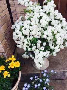羽村市から熊本へ引越しされ被災された方からMさんが頂かれた「コデマリソウ」です。立派に咲いています。