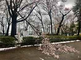 雪で桜の木の枝が折れて、可哀想です。