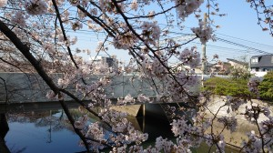 真間川桜並木