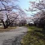 20160325桜