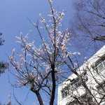 20160320桜