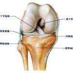 膝の構造 右ひざの図