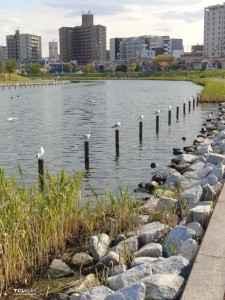 旧中川水辺公園野鳥 (4)