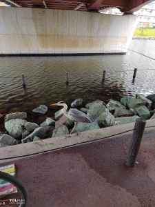 旧中川水辺公園野鳥 (1)