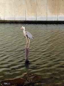 旧中川水辺公園野鳥 (3)