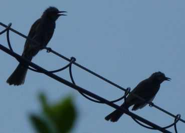 鳴き声 ヒヨドリ の ヒヨドリの生態!鳴き声の特徴や寿命等12個のポイント!
